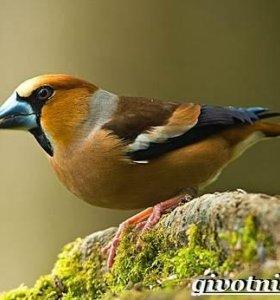 певчие птички