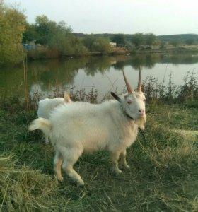 Коза порода дояная и козёл по 4 месяца