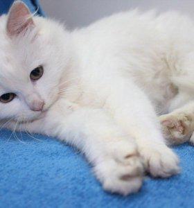 Котенок в добрые руки Блонди, кошка в дар