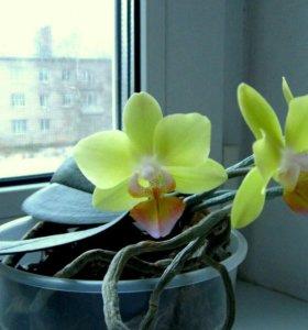 Орхидея фаленопсис, детка