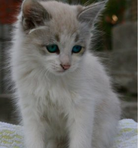 Пушистый котёнок