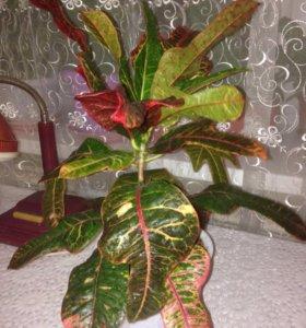 Комнатные цветы -Кротон