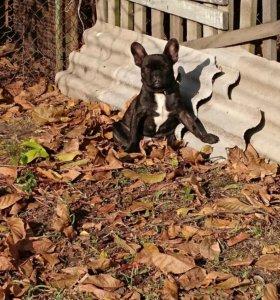 Собака, французский бульдог.
