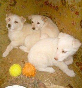 Крупные щенки на охрану дома!