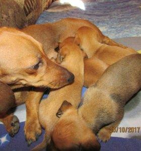 Таксята щенки