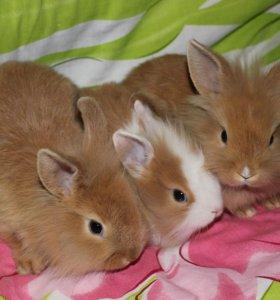 Декоративные Львиноголовые кролики