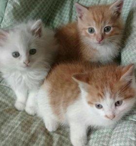 2 кота (рыжие)1кошечка белая пушистая
