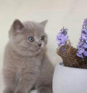Британские котятки Тайсон и Джерри