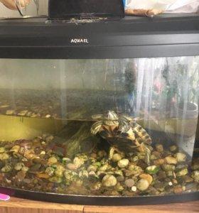 Красноухая черепаха + аквариум 100 л