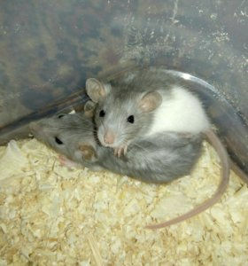 Ручные крыски