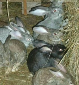 Продам кроликов 1,5 месяца от роду