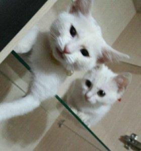 Белые  котята бесплатно