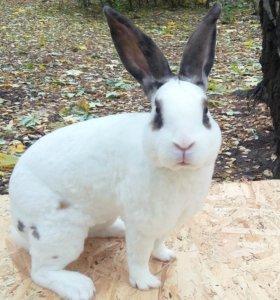 Кролики Рекс молодняк
