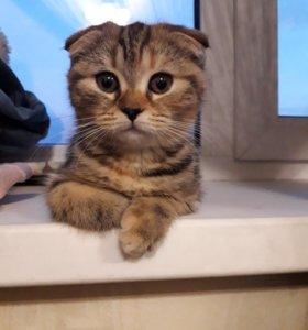 Продадим замечательных котят/ чистокровные