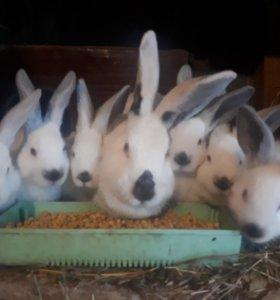 Крольчата калиф.