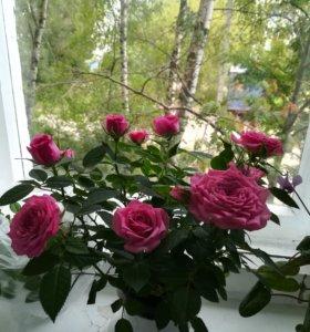 Отводочек.Комнатная роза.