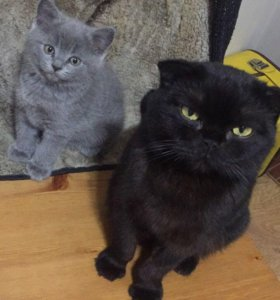 Котята британцы смесь с шотландской кошкой