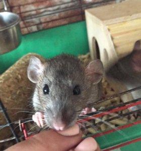Отдам крысят и крысу-самку