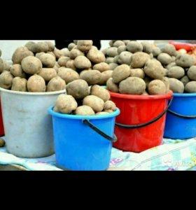 Крупный едовой картофель