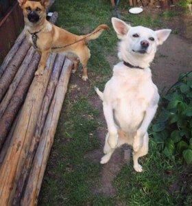 Собака Белка