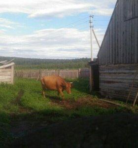 Продам хорошую корову