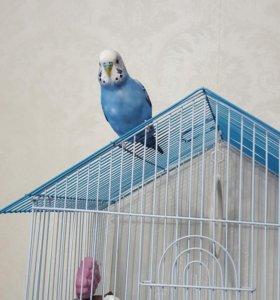 Волнистый попугай + клетка