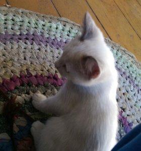 кошка тайская сиамка