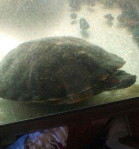Черепахи краснаухие