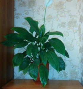 Спатифиллум (цветок любви)