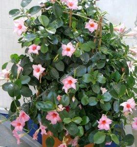 Продам большой куст розовой диплодении