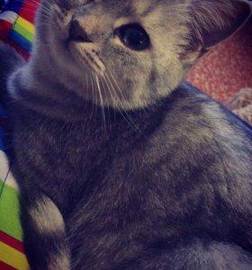 Кошечка-британка