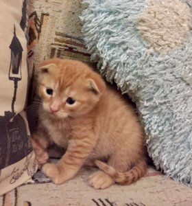 Продам котят от шотландской вислоушки