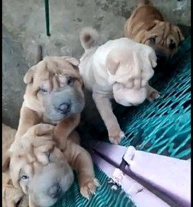 Продаются щенки шарпея