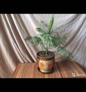 Цветы и пальмы. Хамедорея