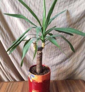 Цветы и пальмы. Юкка
