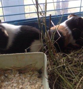 Малыши гладкошерстные свинки