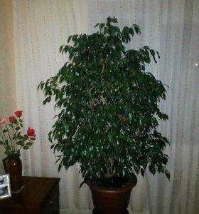 Домашний цветок-фикус вы сотой1,5м.