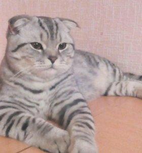 Шотландский вислоухий кот вязка