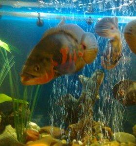 аквариумные рыбы астронотусы 30 см