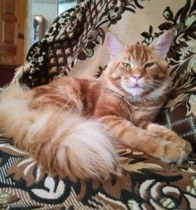 Кот на вязку. Мэйн кун