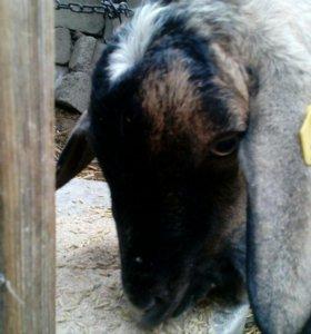 Нубийско альпийский козёл продам/обмен