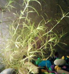 Растение для аквариума Наяс