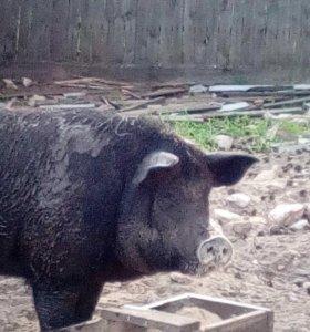 Обменяю или продам свиней венгерская мангалица
