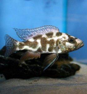 Хаплохромис леопардовый