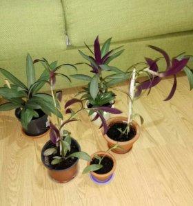 Рео (комнатное растение) с горшком