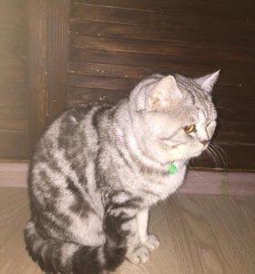 Шотландский прямоухий кот. Вязка