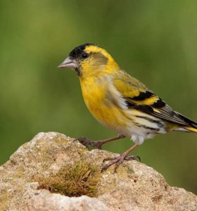 Дикие певчие птицы