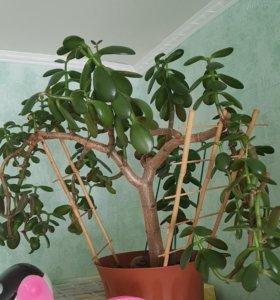 Денежное дерево,  гибискус