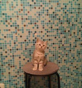 Шотландский котенок от клубных родителей
