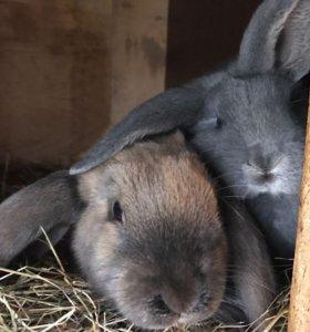 Крольчата Французского барана ,НЗБ и много других